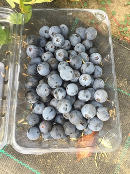 Chilean nursery harvests first crop of NZ-origin blueberry variety